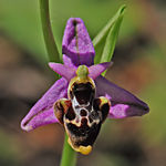 Title: Ophrys [ceto]